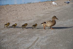 Disciple-Duck